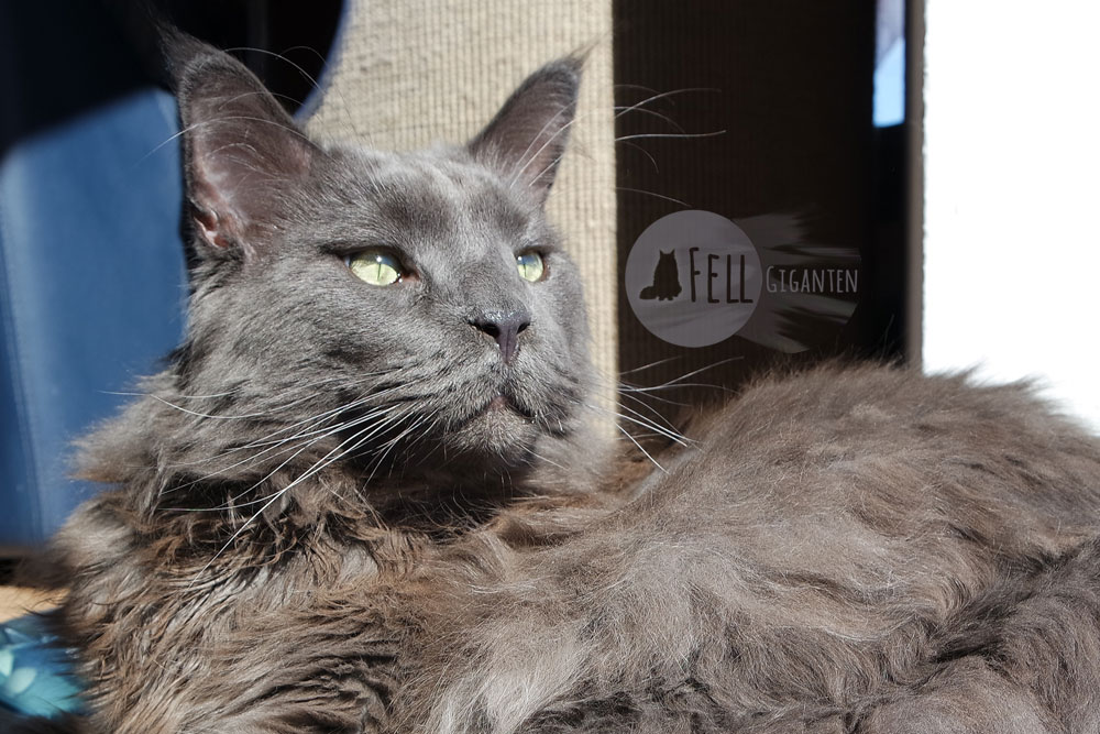 Klettergerüst Für Katzen Selber Bauen : Fakten über maine coon katzen fellgiganten