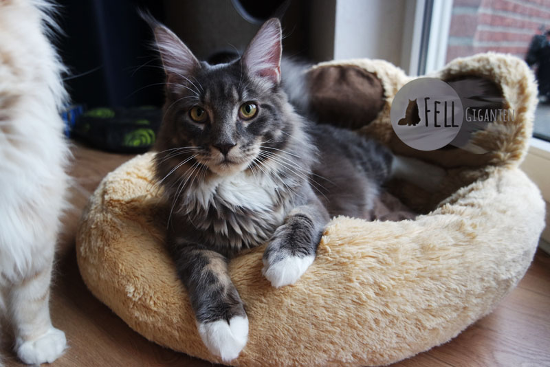 Maine Coon Korb Cozy Little Foot