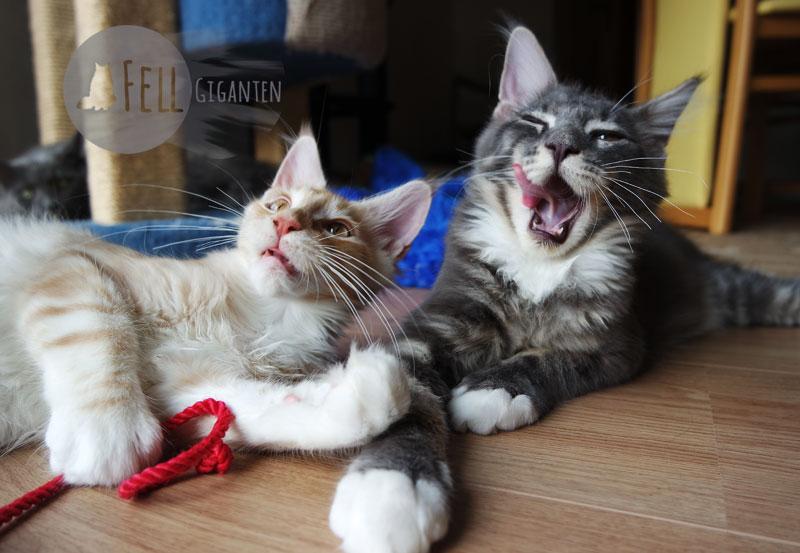 Buddy und Sonny als Kitten