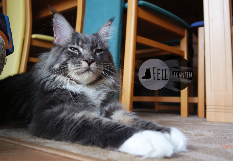 Maine Coon 11 Monate