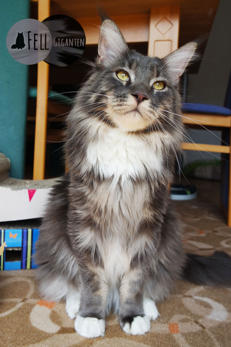 Maine Coon 12 Monate