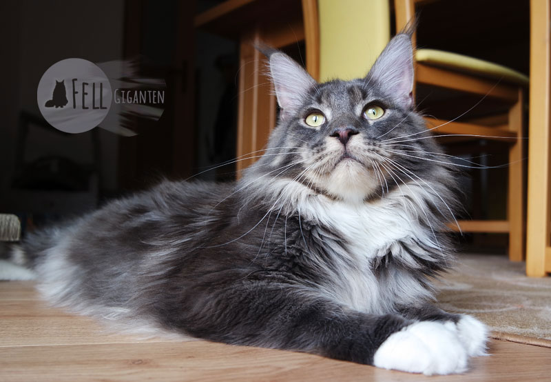 Maine Coon 14 Monate
