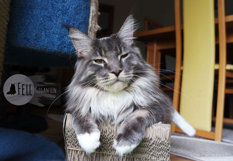 Maine Coon 15 Monate