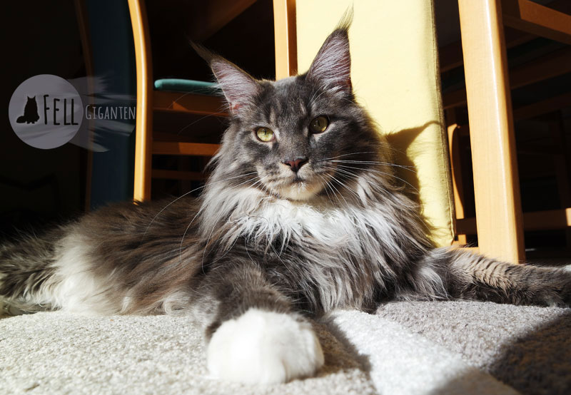 Maine Coon 18 Monate