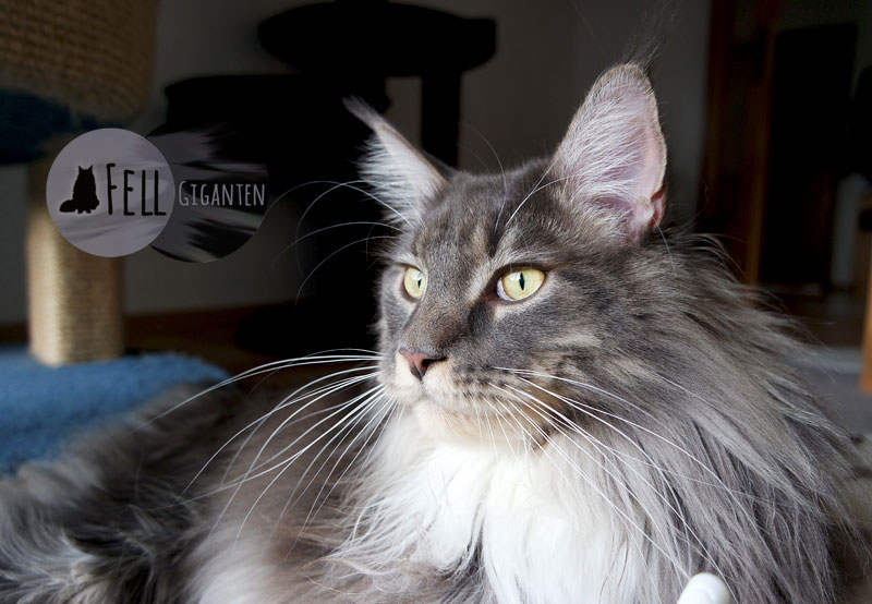 Maine Coon 22 Monate