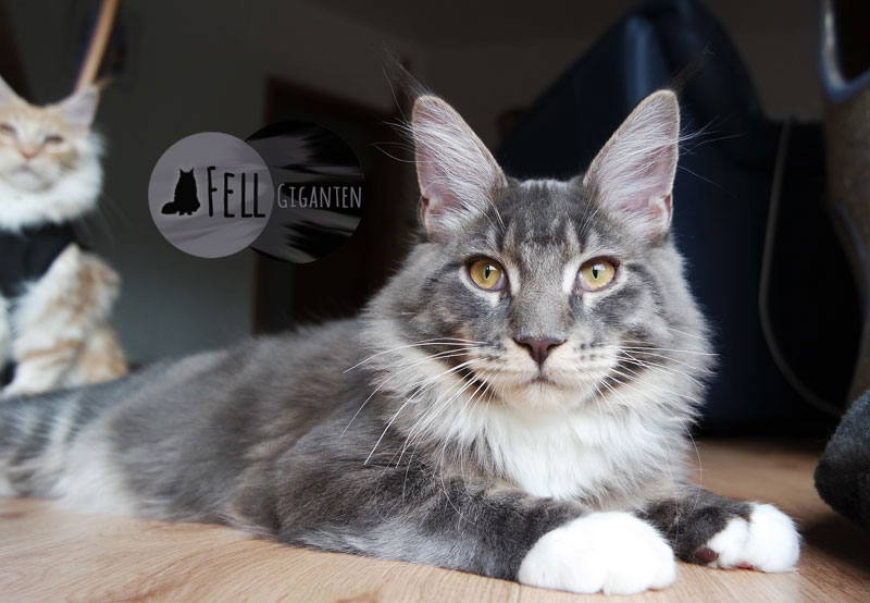 Maine Coon 6 Monate