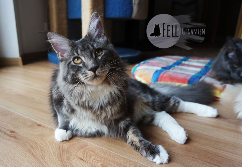 Maine Coon 7 Monate