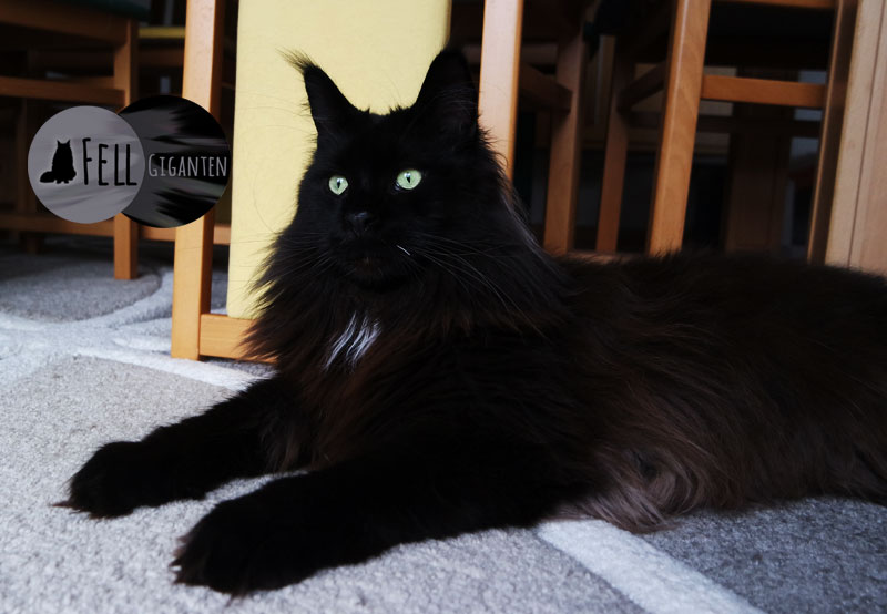 Entwicklung Maine Coon Kater